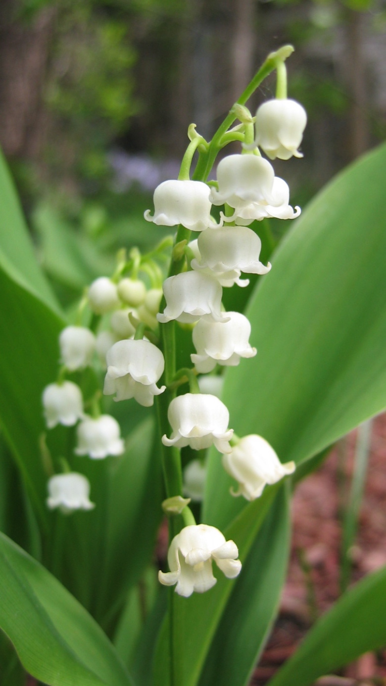 lily of the valley pictures